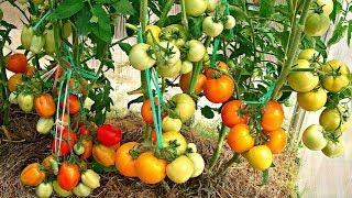 Посадка помідорів по два в лунку, що дає