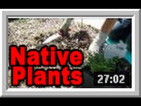 Native Plants - Wisconsin Garden Video Blog 525