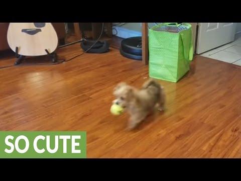 Tiny puppy already a master at fetch