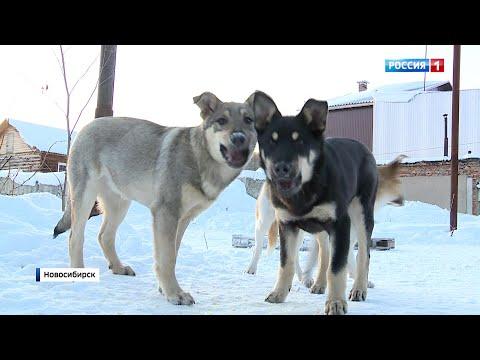 Стаи диких собак рвут детей в Новосибирске