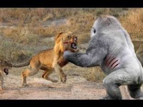 Baboon fights leopard