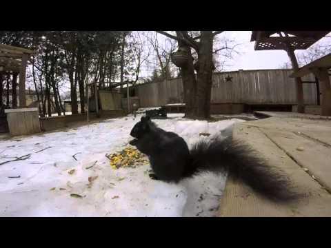 Black squirrel red squirrel gray squirrel feeding in the snow