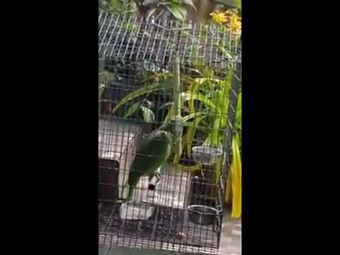 Parrot Sings Sia S Chandelier Youtube