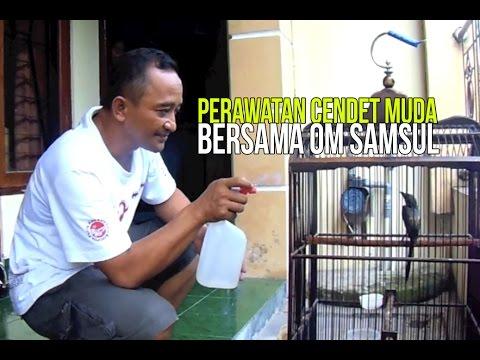 KISAH SUKSES : Om Samsul Mengorbitkan Cendet Muda Gacor Jadi Juara Nasional