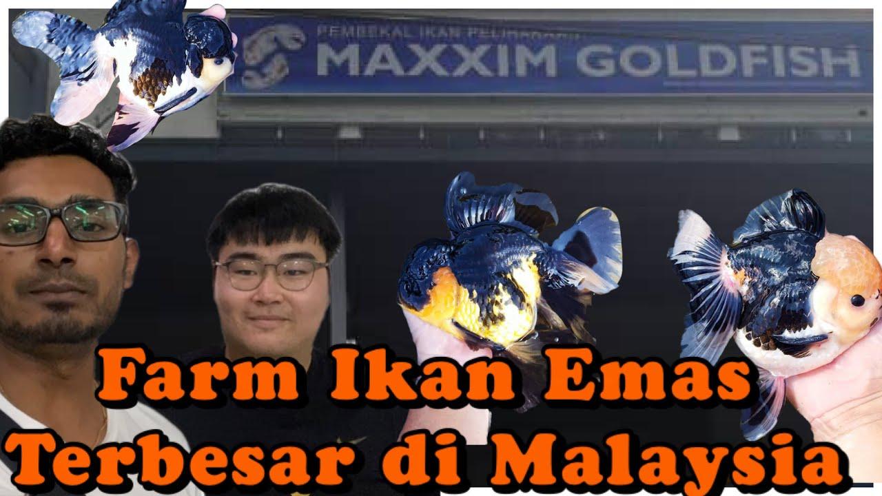 Download Farm Ikan Emas(GOLDFISH) terbesar di Malaysia// Maxxim Gold fish farm, Batu Pahat