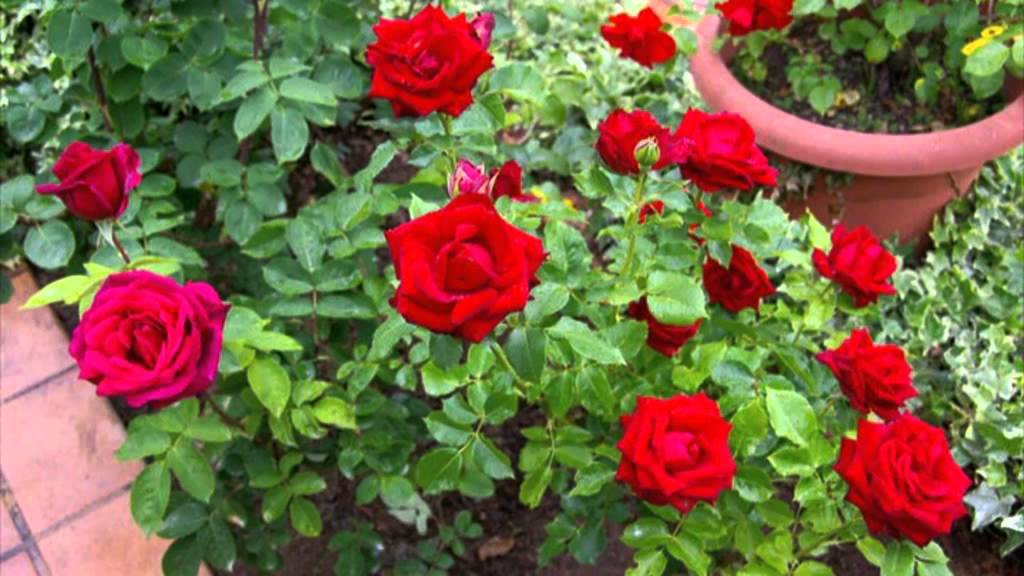 Rosas el jard n de vicente granell youtube for Cancion jardin de rosas