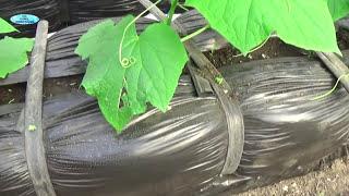 Огурцы на балконе выращивание видео
