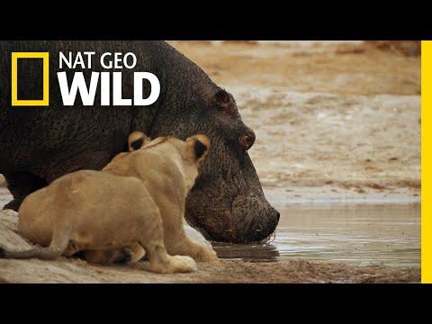 The Marsh Pride Encounter a Hippo | Savage Kingdom: Uprising