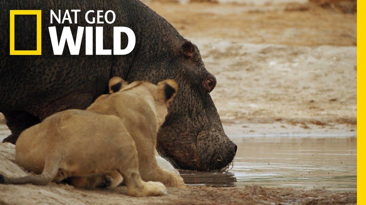 The Marsh Pride Encounter a Hippo   Savage Kingdom: Uprising