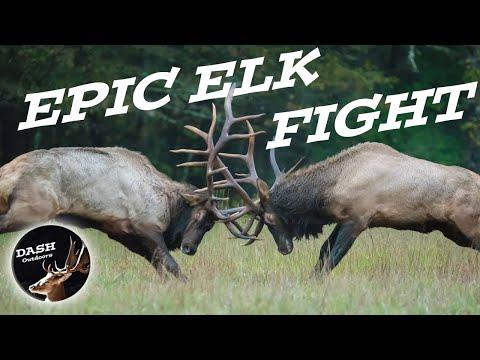 Bull Elk Fight - Cataloochee Valley