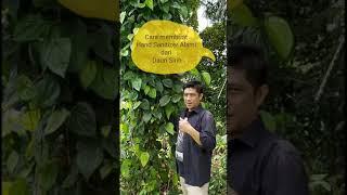 Cara membuat hand sanitizer alami dari daun sirih, tanpa ribet