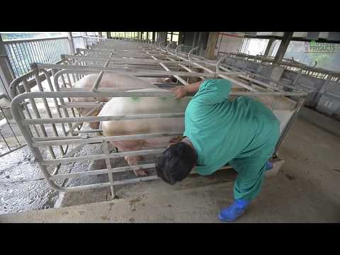 KNOWLEDGE PRODUCTS - Pregnancy Diagnosis in Swine