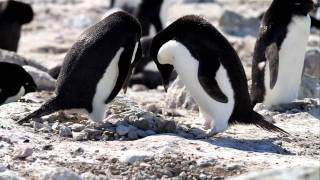 南極で撮影した野生のアデリーペンギンです。 アデリーペンギンは岩場の...