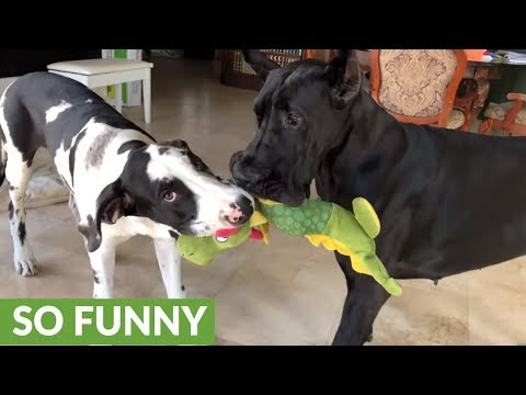 Great Danes play tug-of-war with alligator stuffed animal