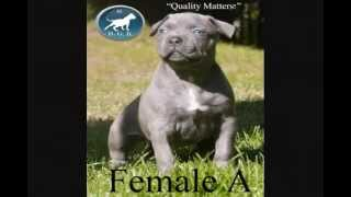 best largest biggest top quality blue  XXL Bully pitbull puppies for sale, big pitbull puppy
