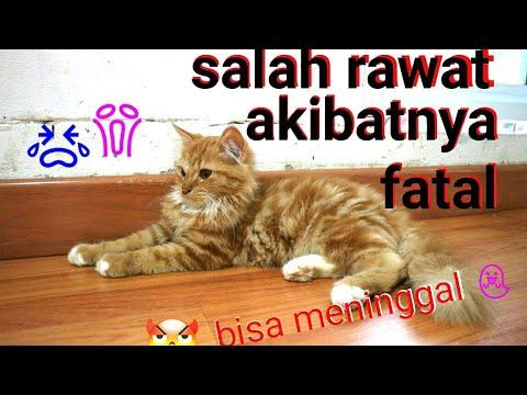 Makanan Untuk Membuat Bulu Kucing Lebat Perawatankucing Kucingkampung Kucingpersia Youtube