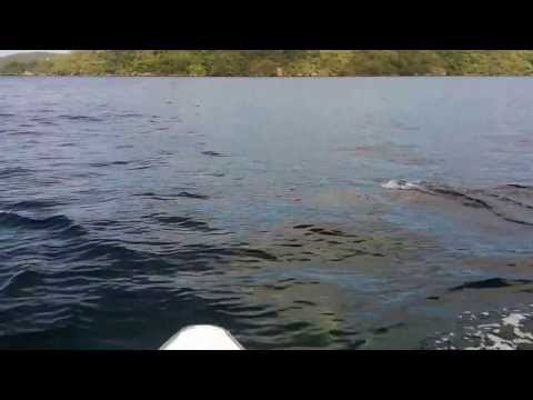 Dolphins off the Monos Island in Trinidad, West Indies