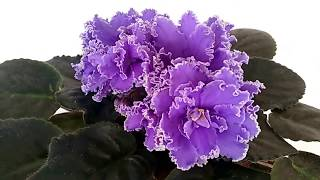 ЛЕ-ЗЕРКАЛО ВЕНЕРЫ. СИНЯЯ ФИАЛКА. ФЛОРА-СПБ. My beautiful African Violet.