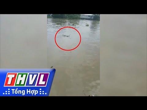 THVL | Cá sấu xuất hiện trên sông Long Hồ