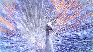 7 أنواع من طيور الطاووس هم الأكثر تفردا وإثارة للإهتمام حول العالم..رقم 5 متغير وراثياً هو الأجمل