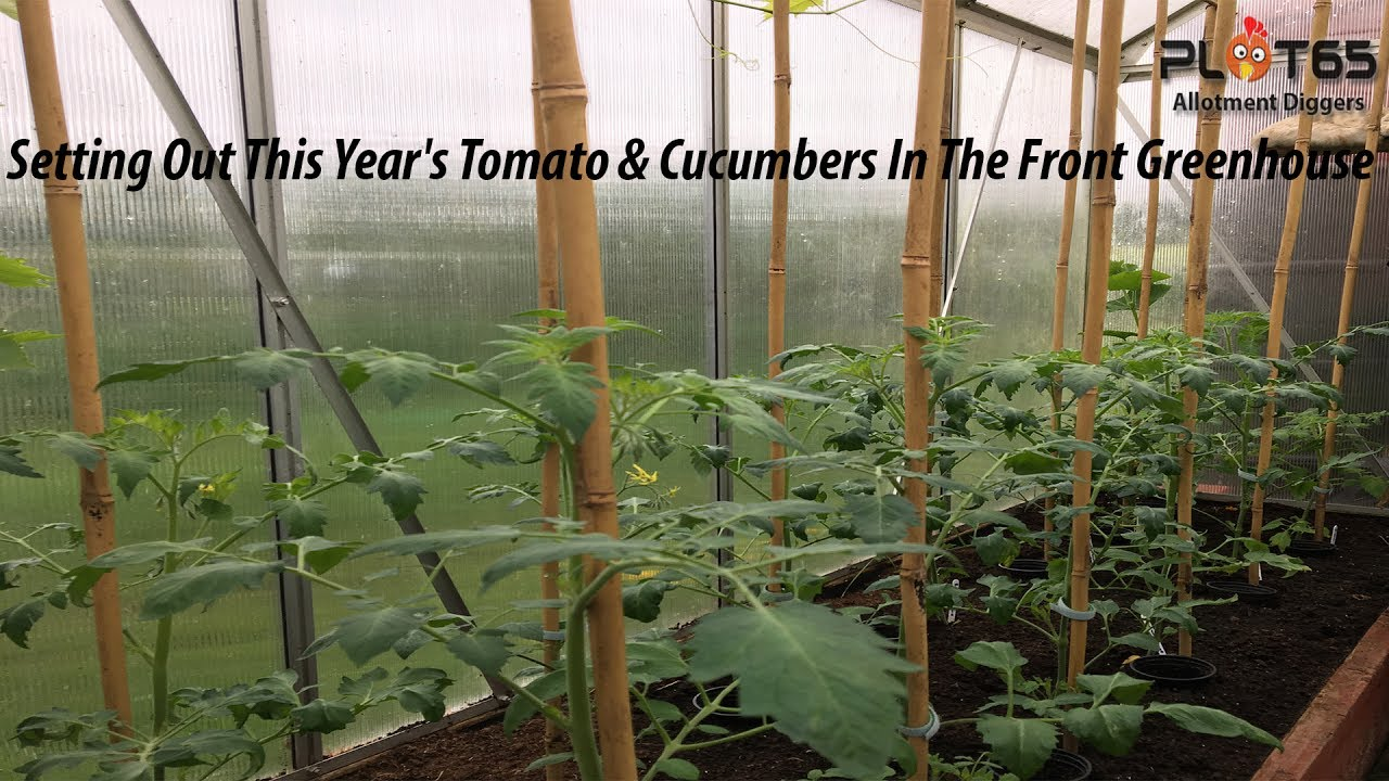 Cucumbers and tomatoes. Growing in a greenhouse for sale 14