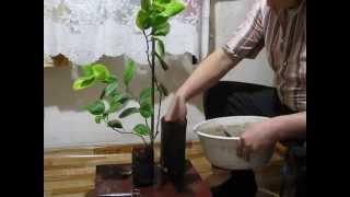 Правила пересадки лимона в домашних условиях в новый горшок