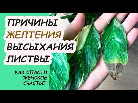 Сохнут и желтеют листья СПАТИФИЛУМА. Классификация причин, что делать?