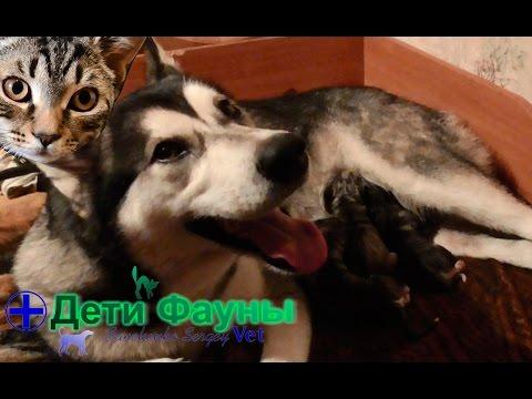 Роды у собаки, признаки. Предвестники родов у собак. Стадии родов. Советы ветеринара