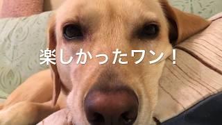我が家の愛犬ラブラドールのはるちゃんが大好きなパパと休日の河川敷で...