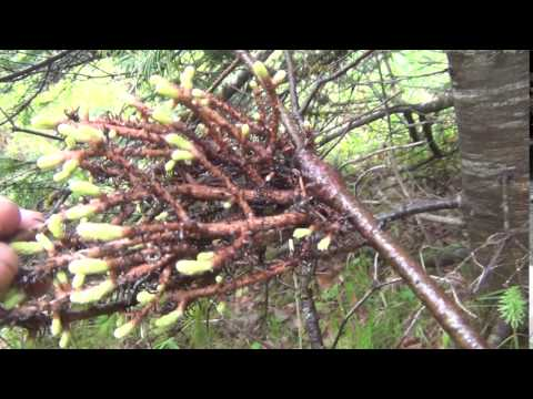 Омела (трава) – полезные свойства и применение омелы