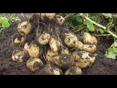 КАРТОФЕЛЯ БУДЕТ МНОГО БЕЗ ОКУЧИВАНИЯ И ПОЛИВОВ!ЛЕНИВЫЙ СПОСОБ!!! | выращивание | окучивания | картофеля | картофель | посадить | картошка | способы | посадка | сеном | под