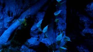 Рыбы-перья, «черные ножи» (шанхайский океанариум, 2010)(В сентябре 2010 года сотрудники редакции журнала «Потребитель» съездили в командировку в китайский Шанхай...., 2011-01-31T15:46:20.000Z)