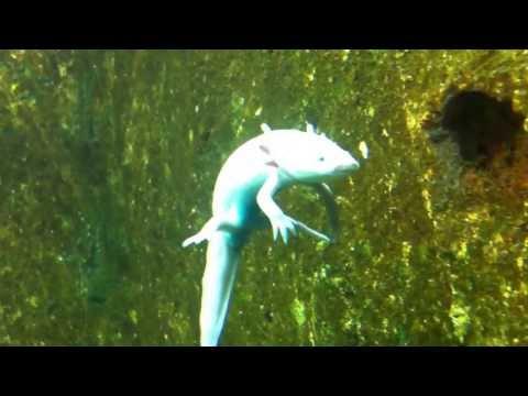 Fishing - Water Salamander - Kỳ nhông nước