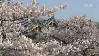 第03回 桜 -ソメイヨシノ-