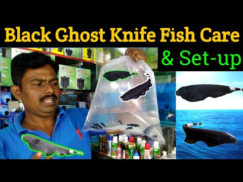 How To Care Of Black Ghost Knife Fish