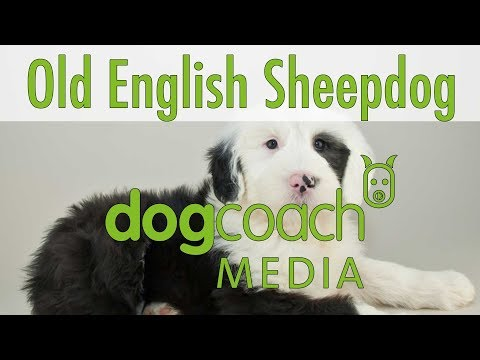 Hunderasse Lexikon: Old English Sheepdog (Bobtail)