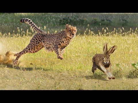 CHEETAH HUNTING RABBIT | Animal In The Wild