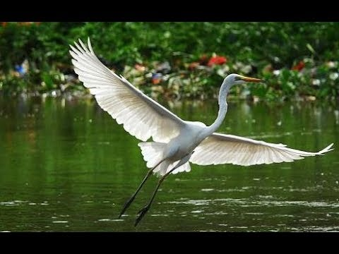 Pesona Burung Bangau Putih Memikat Mata Youtube