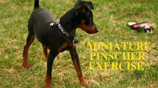 Miniature Pinscher Exercise [Needs and Ideas]