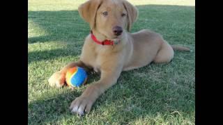 Benjamin Labrador Retriever Puppy 6-11 Weeks