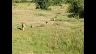 一匹のいなくなったライオンが戻ってきました。なんとそのライオンが連...