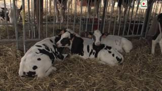 Les Vaches du comice agricole - TV Quiberon 24/7