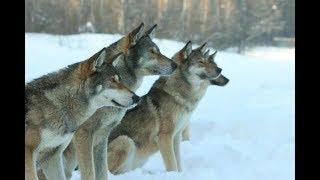 Волкособ Описание породы