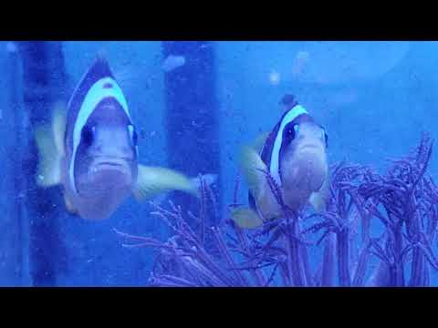 W4 TR Two Band Clownfish PAIR