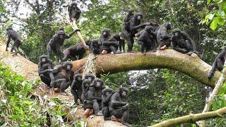 Peaceful Wild Bonobos!【Remake】
