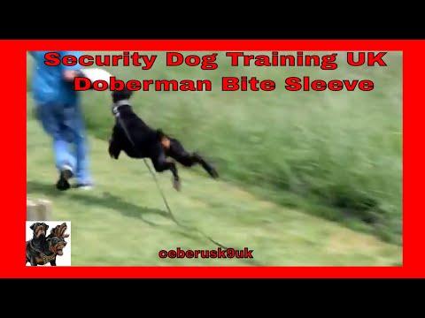 Doberman Pinscher - Protection Security Dog Training