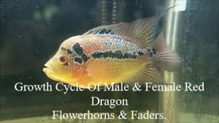 2018 Growth Cycle Of Male & Female Red Dragon Flowerhorn & Fader Cichlid Fish Plus Some Tips.