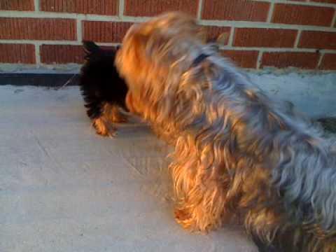 Yorkie 'maximus' vs Silky terrier ' Scamper'