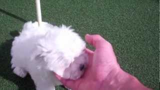 Teacup Maltese Puppy Playing With Tiny Cavachon & Yorkshire Terrier Female