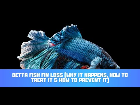 Betta Fish Fin Loss (Why It Happens, How To Treat It & How To Prevent It)
